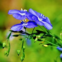 Цветы июня :: Oleg S