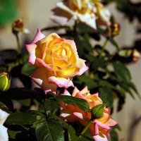 Август, розы. :: barsuk lesnoi