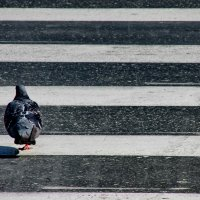 Пешеходный голубь :: OLLES