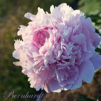 цветок пиона :: lenrouz