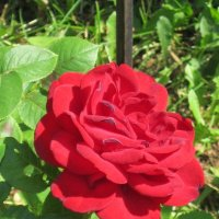 Красная роза :: Дмитрий Никитин