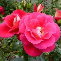 Розы у храма :: Татьяна Лобанова