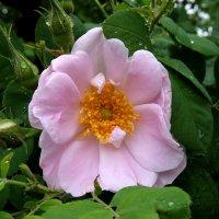 Розовый шиповник. :: Люба