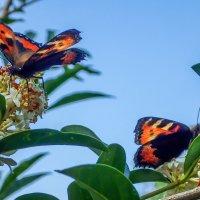 бабочки на бирючине - очень они любят этот куст :: Лариса Батурова