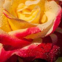Мамины розы :: Luba Koba