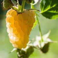 Жёлтая малина макро :: Александр Синдерёв