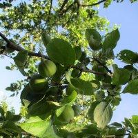 яблочки.. :: Зинаида