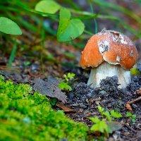 Белый гриб. :: Виктор Шпаков