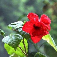 Китайская роза :: Vlad Сергиевич