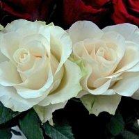 Белые розы :: Сергей Карачин