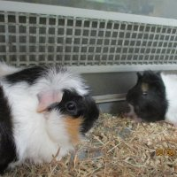 Морские свинки. :: Зинаида