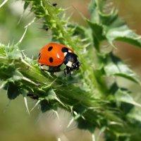 Ladybird :: Олег Шендерюк