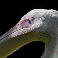 Самка розового пеликана :: олег