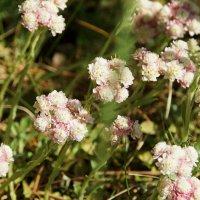 Растение из детства - Кошачья лапка или антеннария :: Наталья Т