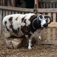 Овца Святого Якова :: Татьяна Ларионова