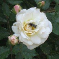 Белая роза :: Дмитрий Никитин
