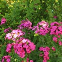 Цветы на садовом участке. :: sav-al-v Савченко