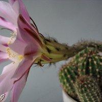 Цветущий кактус :: OLLES