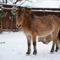 Лошадь Пржевальского... :: Наташенька *****