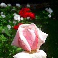 Алая роза. :: Vit