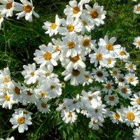 Ромашки- символ праздника семьи, любви и верности :: Надежда