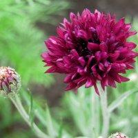 Угадай, что за цветок :: Лидия Суюрова