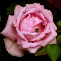 Блуждая в розы лепестках. :: Nata