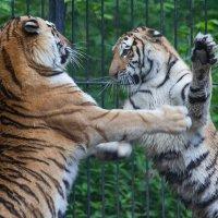 Амурскме тигры :: Владимир Габов
