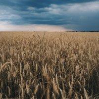 поле перед грозой :: Алина Гриб