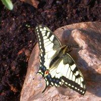 Парусник, бабочка-подалирий :: Генрих