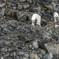 живые полярные медведи на расстояние 130 м от нас :: Георгий