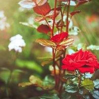 Лето розариум :: Alyes Kukharev