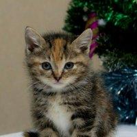 ЛАСКА, Центр помощи кошкам на Сахалине https://vk.com/laskasakhalin.  Симка :: Margarita Ласковая