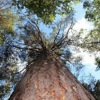 Когда деревья были большими ... :: Олег Кондрашов