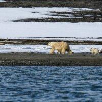 медведица со своими медвежатами вышла из океана :: Георгий А