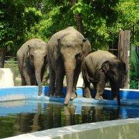 Семья слонов в Ростовском зоопарке :: татьяна