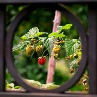 У соседа ягоды и крупнее, и слаще! :: Татьяна Помогалова