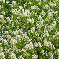 Запахи весны.Черемуха :: Лидия (naum.lidiya)