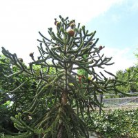 Араукария чилийская  (лат. Araucaria araucana) :: Tamara