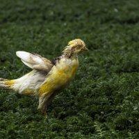 Золотой фазан. :: Yuri Chudnovetz