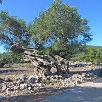 Вековые оливы :: Андрей K.