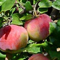 Спеют яблочки :: Валентина