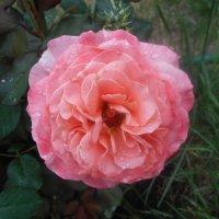 Роза под дождём :: Tarka