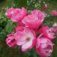Розовые цветы :: Tarka