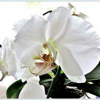 Орхидея :: Leonid Tabakov