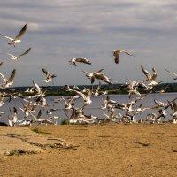 Сестрорецкие чайки :: Евгений Астахов