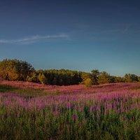 Луговое поле иван-чай :: Елена Маковоз