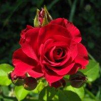 роза IMG_1274 :: Олег Петрушин