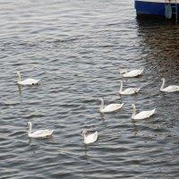 Лебеди на Влтаве :: Елена Гуляева (mashagulena)