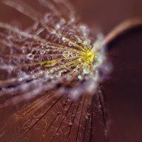 парашют одуванчика в росе :: Marina Timoveewa